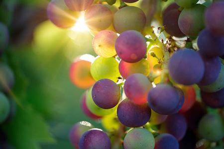 Refractometer  to measure sugar in grape wine